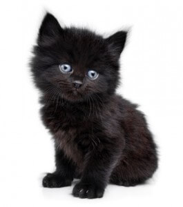 black-cat-with-blue-eyes-breedblack-kittens-with-blue-eyes---animal-box-picture-0hkrisnh