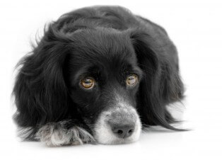 liver-disease-dogs